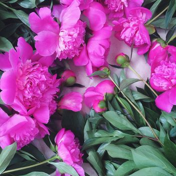 Beautiful pink peonies - image #136511 gratis