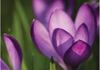 Crocus Flowers - Free vector #149311