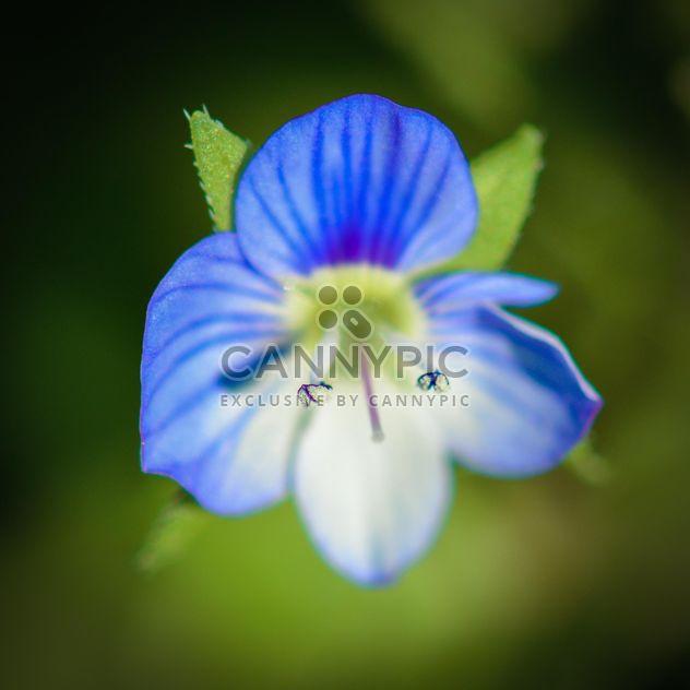 Blue spring flower - Free image #182861