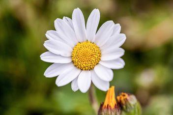 White daisy flower - image #183041 gratis