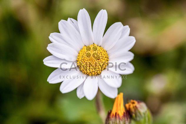 Fleur de Marguerite blanche - image gratuit #183041
