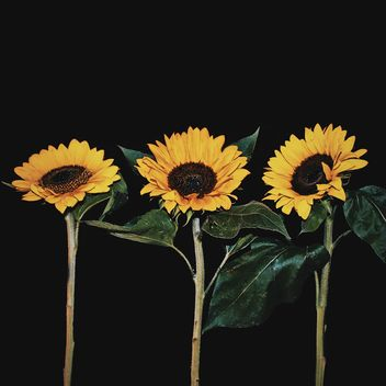 Sunflowers on black background - Free image #183261