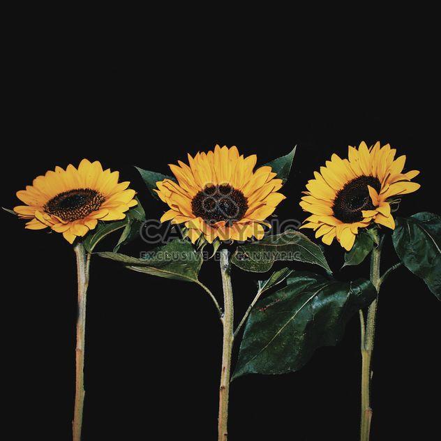 Sunflowers on black background - Free image #183261