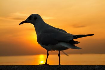 Seagull at sunset - Free image #183901