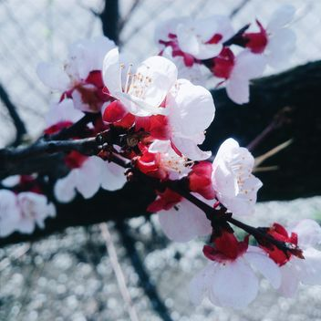 Cherry tree blossom - Free image #184461