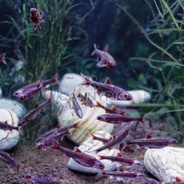 Purple fishes - Free image #184531