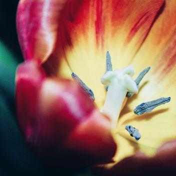 Tulip macro - image gratuit #184601