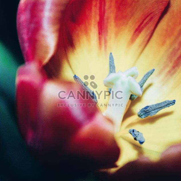 Tulpe-Makro - Free image #184601