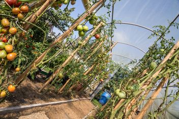 Tomato greenhouse - Free image #185791