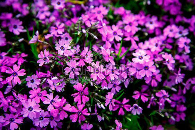 Pequenas flores roxas no canteiro de flores - Free image #186161