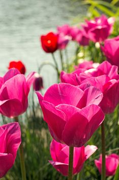 Pink tulips in garden - Free image #186751