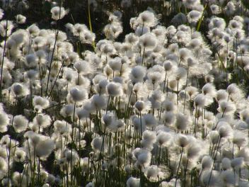 cotton grass mnogokoloskovaya - erioforos - Kostenloses image #197891
