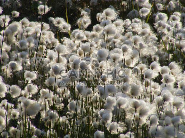 cotton grass mnogokoloskovaya - erioforos - Free image #197891