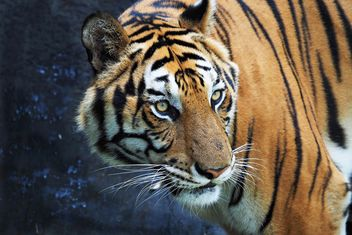 Tiger in Zoo - Free image #197911