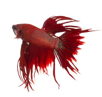 Siamese fighting betta fish - image gratuit #198071