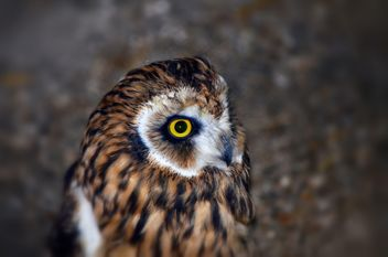 Portrait of brown owl - image #198191 gratis