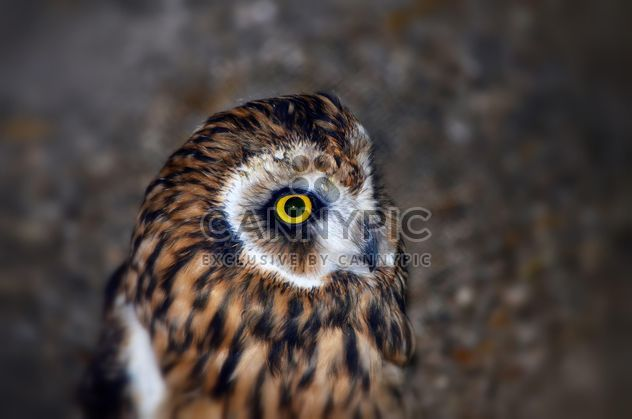 Portrait of brown owl - Free image #198191