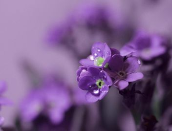 Small purple flowers - image gratuit #198211