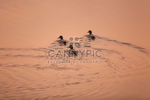 #morning #sunrise #ducks #birds #lake #reflection - бесплатный image #198571