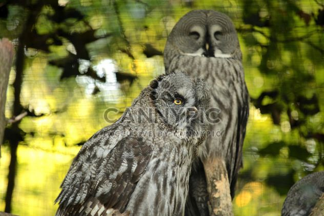 Gray owls on the tree - Free image #201441