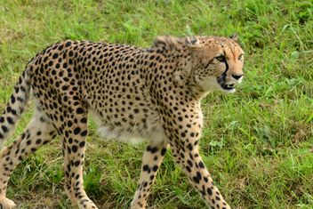 Cheetah on green grass - image #201461 gratis