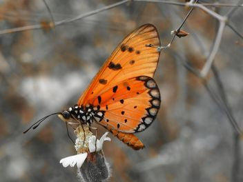 Tawny Coster butterfly on the flower - image gratuit #201501