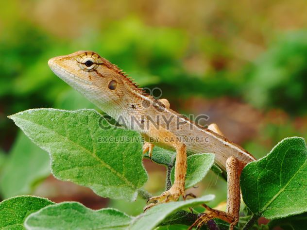 Dragon (Chameleon) on green leaves - Free image #201521