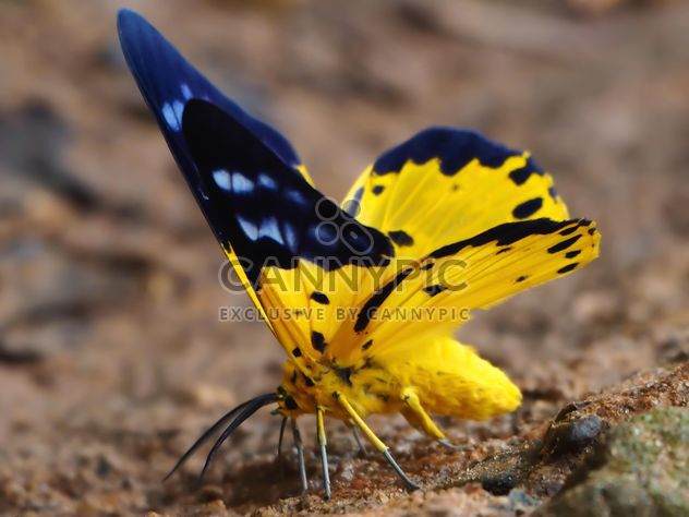 Spotted golden-looper moth butterfly - Free image #201531