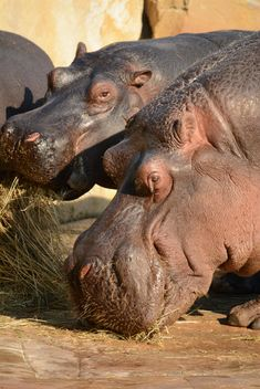 Hippos In The Zoo - image gratuit(e) #201591