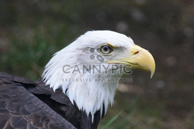 Portrait Of Eagle - Free image #201651