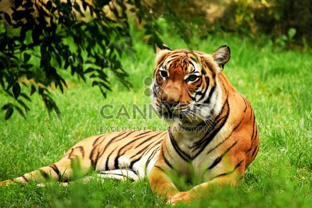 Tiger in the Zoo - Free image #201661