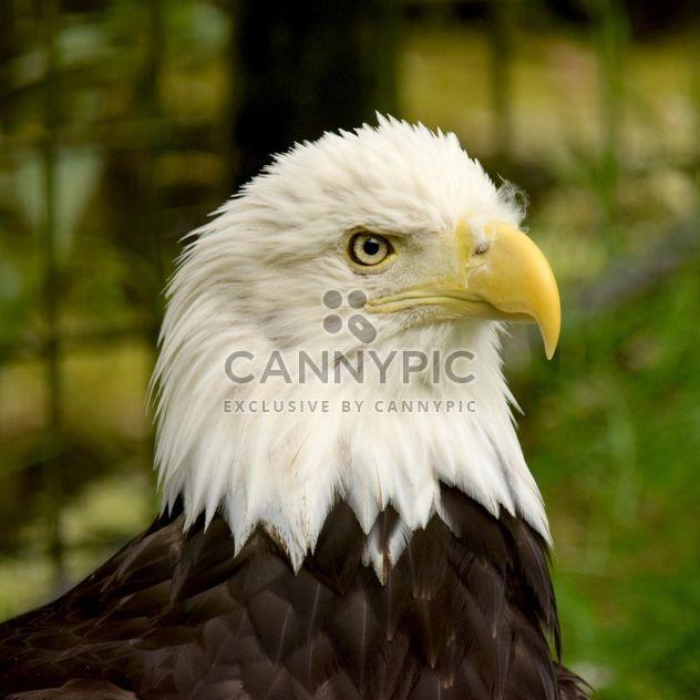 Portrait de l'aigle à tête blanche - image gratuit #201671