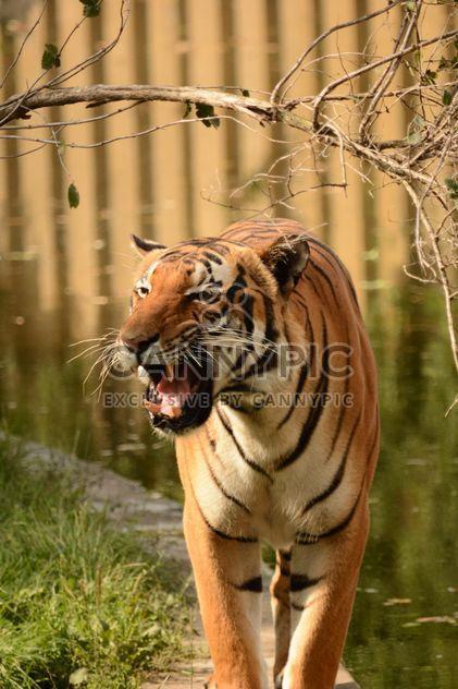 Tiger hautnah - Kostenloses image #201701