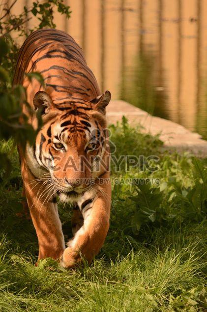 Тигр крупным планом - бесплатный image #201711