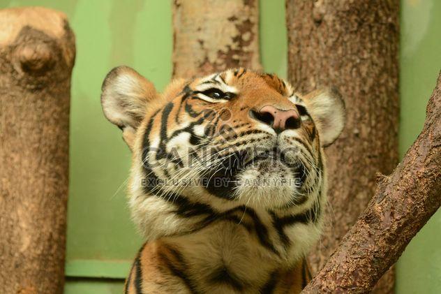 Tigre de perto - Free image #201721