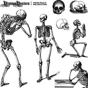 Human Skulls And Skeletons - vector gratuit #221511