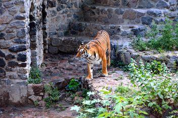 Tiger - Free image #229371