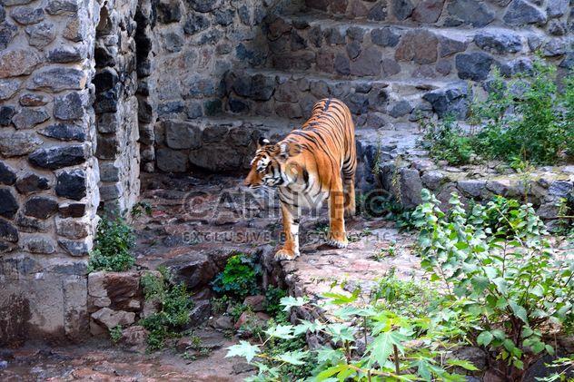 Tiger - Kostenloses image #229371