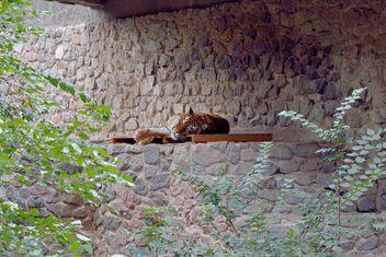 Tiger - Free image #229381