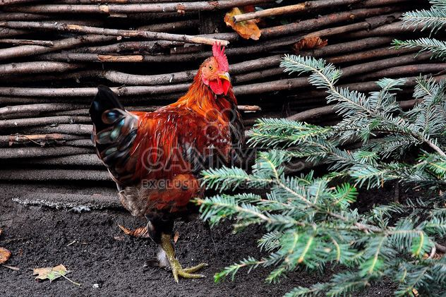 Hen in a farmyard - Free image #229421