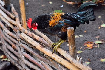 Hen on a fence - image gratuit(e) #229431