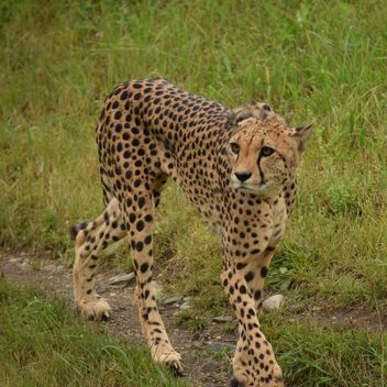 Cheetah on green grass - image #229481 gratis