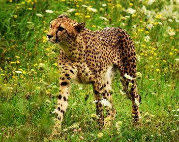 Cheetah on green grass - image #229491 gratis