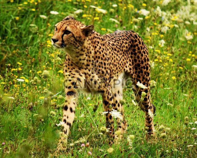 Cheetah on green grass - Free image #229491