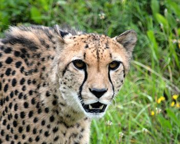 Cheetah on green grass - image #229501 gratis