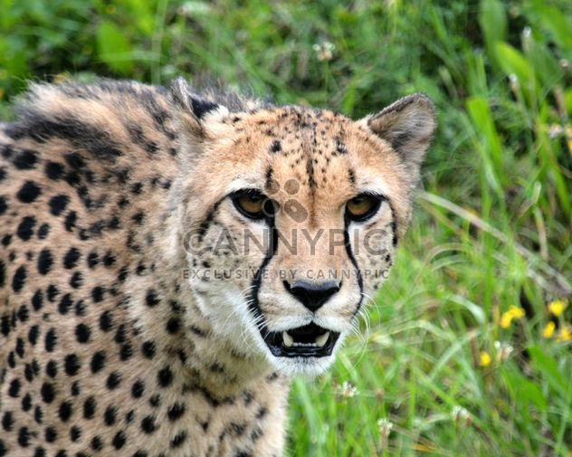 Cheetah on green grass - Free image #229501