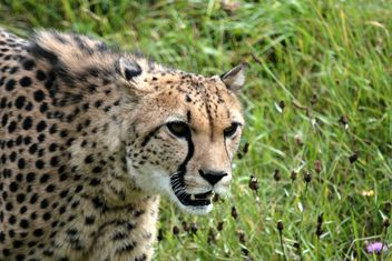 Cheetah on green grass - image #229511 gratis