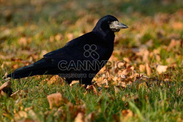 Большой черный ворон - бесплатный image #271911