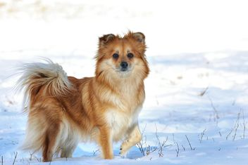Dog in winter field - image gratuit #271951