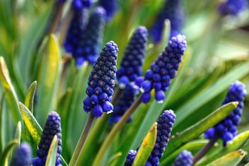 Blue Muscari flowers - image #271961 gratis